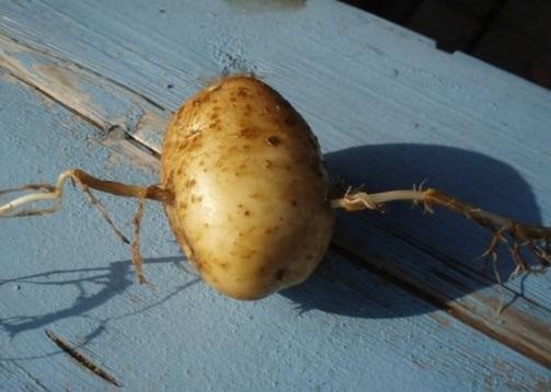 фото клубня картофеля, проткнутого пыреем