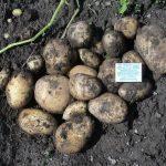 фото картошки утенок