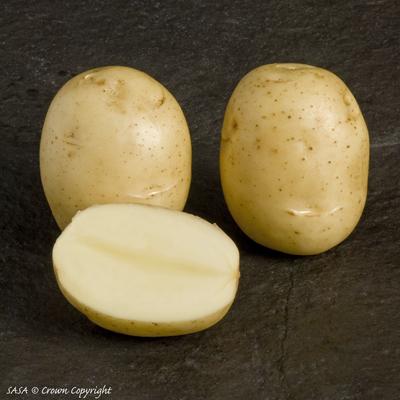 фото сорта картофеля банба
