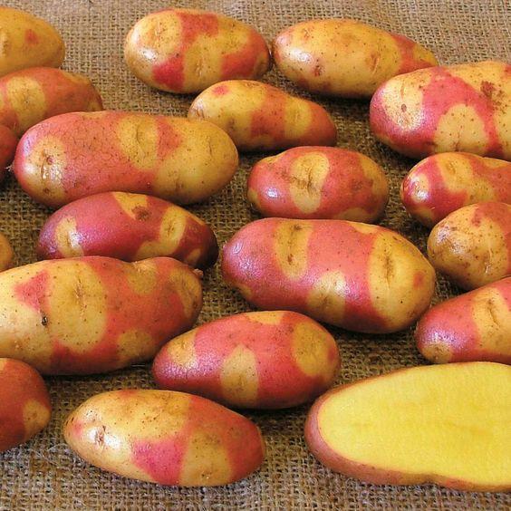 фото сорта картофеля бикини