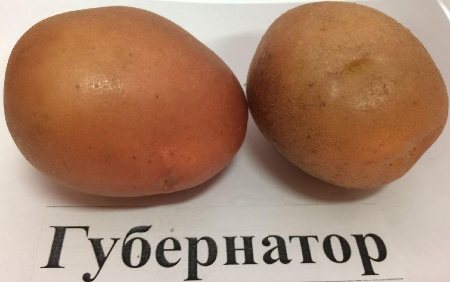 фото сорта картофеля губернатор