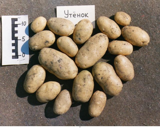 фото сорта картофеля утенок