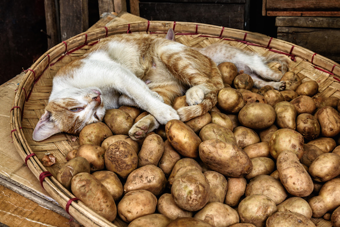 давать ли картфоель коту
