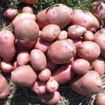 фото картошки лазарь