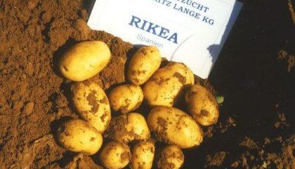 фото картошки рикеа