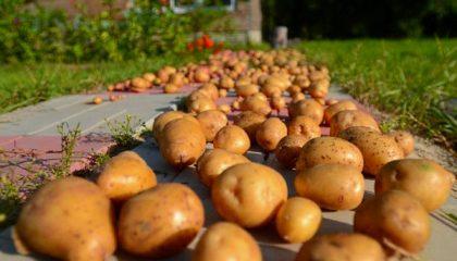 фото обработки картошки перед хранением
