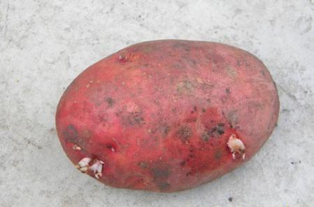 фото сорта картофеля Берлихинген
