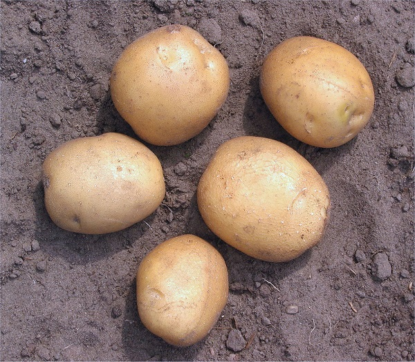 фото сорта картофеля эффект