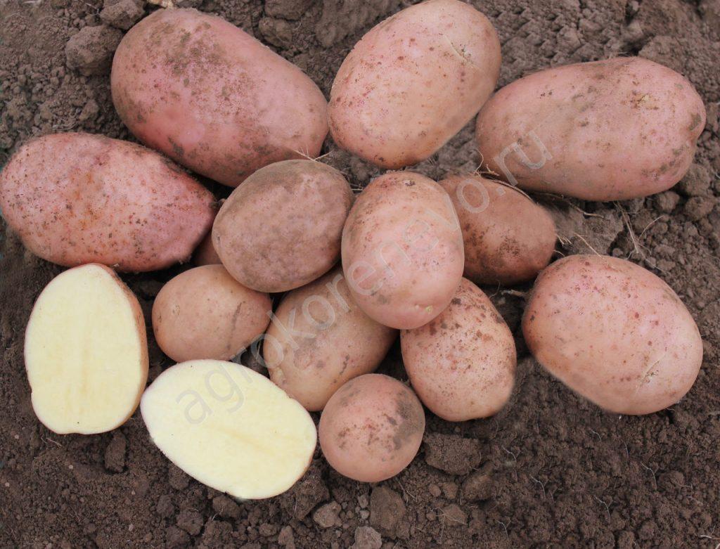 фото сорта картофеля гранд