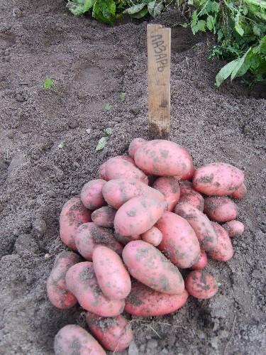 фото сорта картофеля лазарь