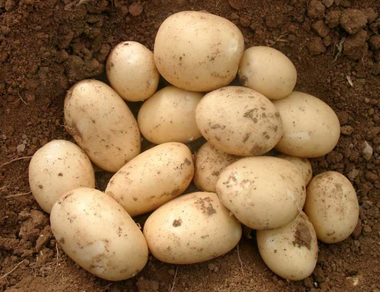 сорт картофеля орла фото