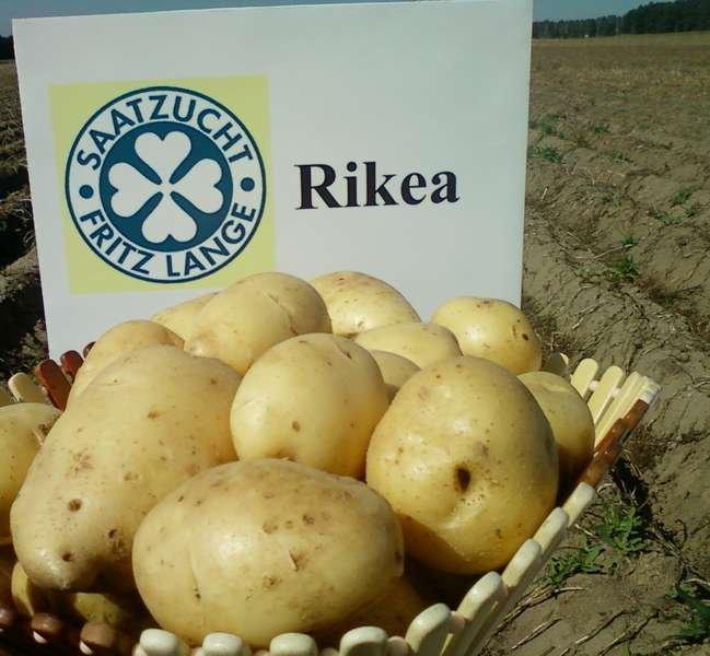 фото сорта картофеля рикеа