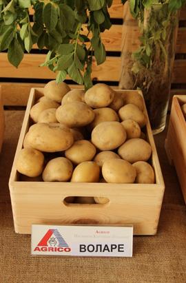 сорт картофеля воларе фото