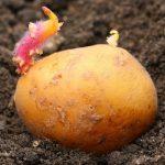 как правильно купить картошку для посадки