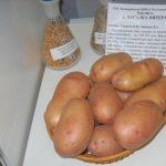 фото картошки питерская загадка