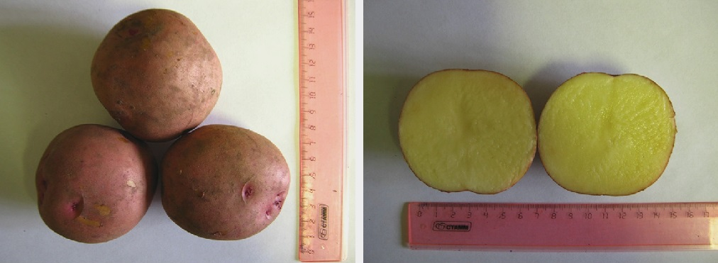 фото сорта картофеля танго
