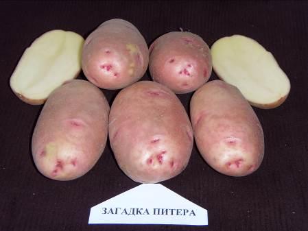фото сорта картофеля Загадка Питера