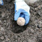 фото выращивания картофеля в лунках