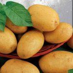 фото картошки ассоль