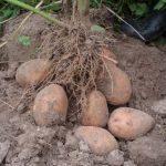 фото картошки бородянская