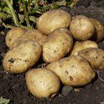 фото ладожской картошки