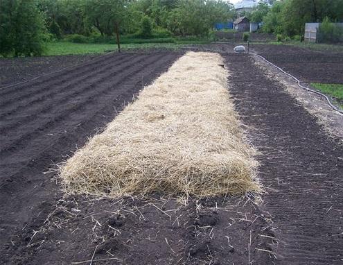 фото посадки картофеля осенью под солому