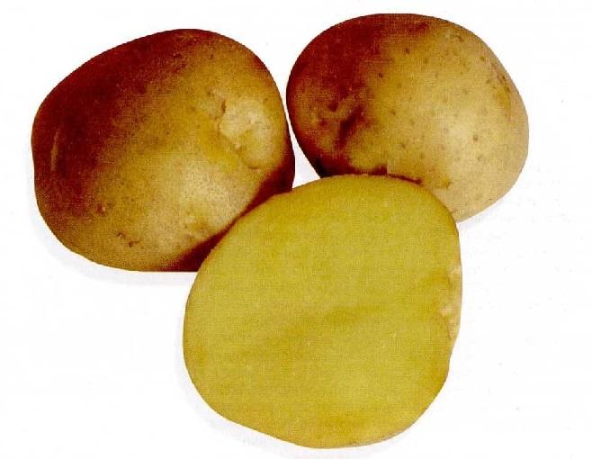 фото сорта картофеля акросия