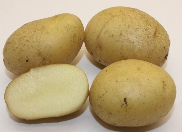 фото сорта картофеля гатчинский