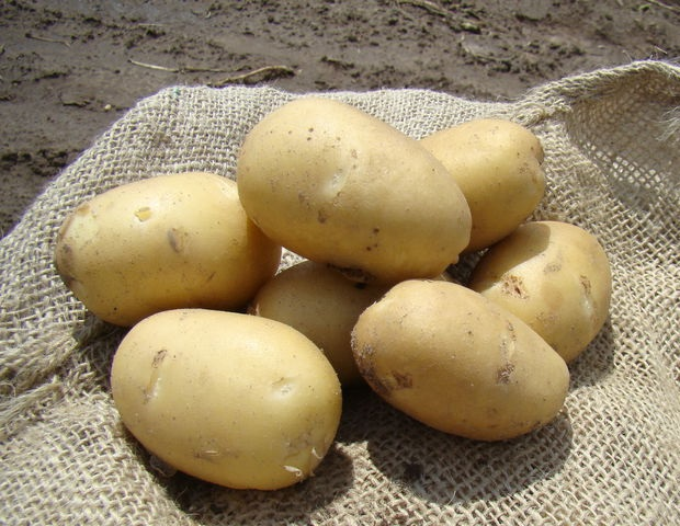фото сорта картофеля ладожский