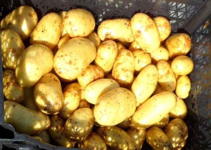 фото сорта картофеля старт