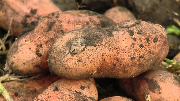 фото сорта картофеля утро раннее