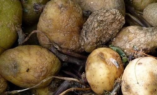 фото замерзшей картошки
