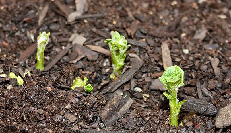 фото молодых побегов картофеля