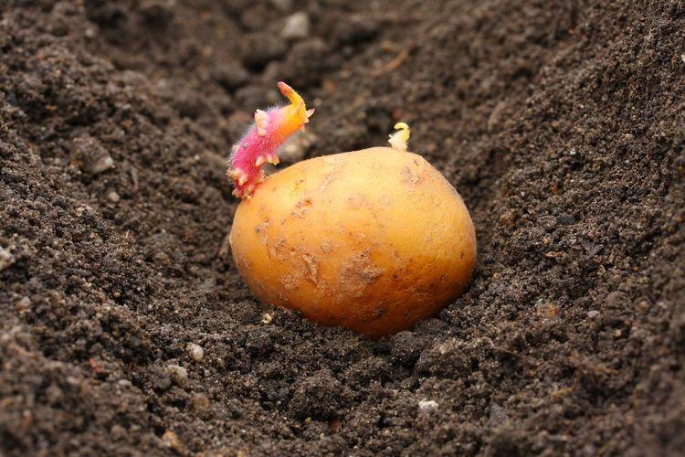фото посадки картофеля ростками вверх
