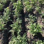 сажать ли картфоель ростками вверх
