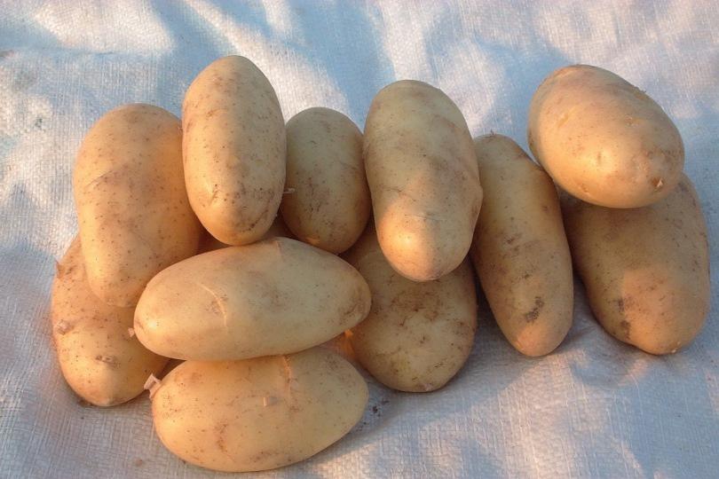 фото сорта картофеля Алиса