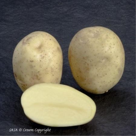 фото сорта картофеля алмера