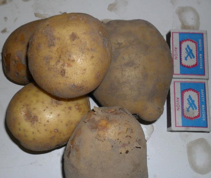 фото сорта картофеля арамис