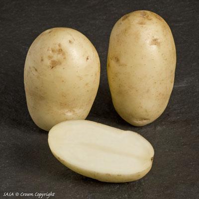 фото сорта картофеля аргос