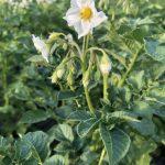 фото цветения картофельного куста