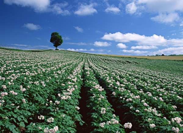 фото как цветет картошка