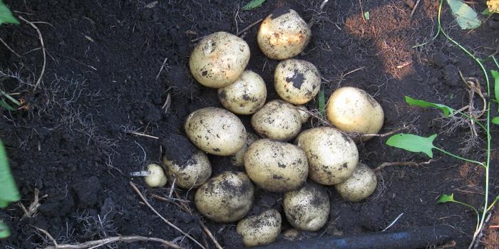 фото картошки, выращенной из ягод