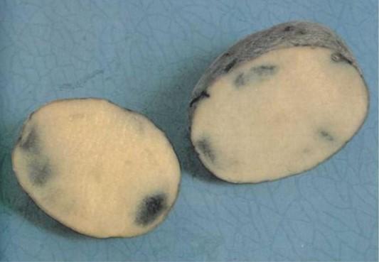 Серая пятнистость (меланоз) фото