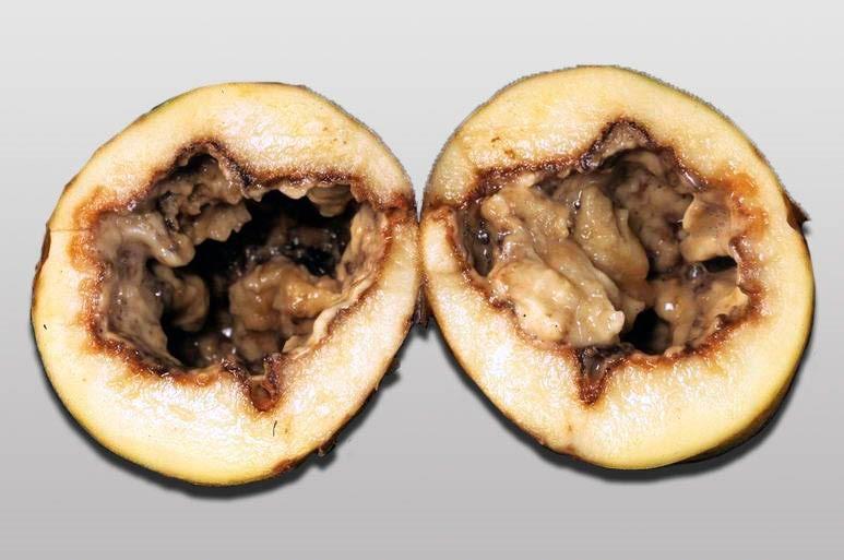 Чёрная ножка картофеля фото