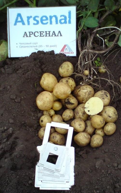 фото сорта картофеля Арсенал