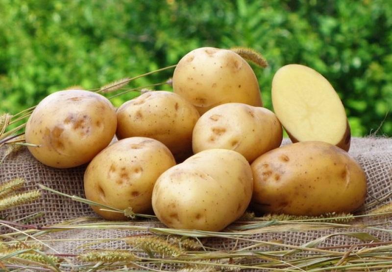 фото сорта картофеля Батя