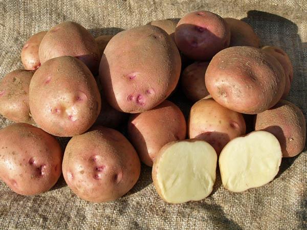 фото сорта картофеля Безенчукский