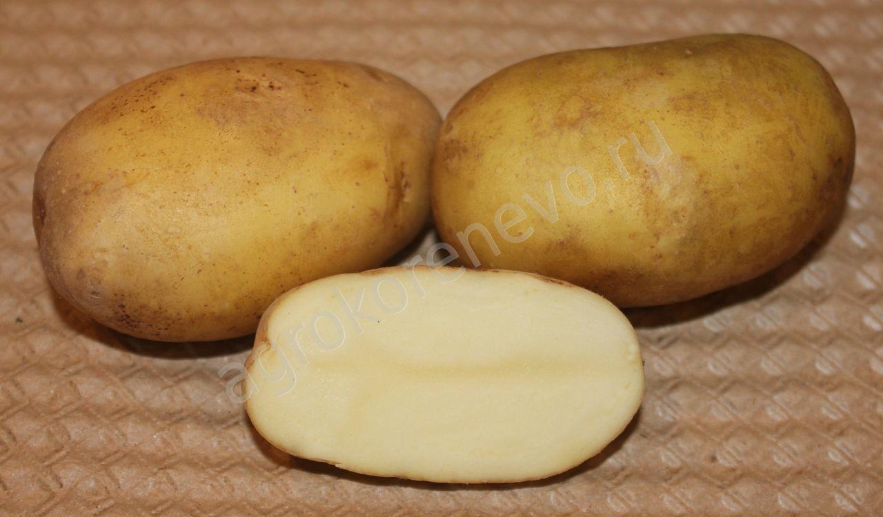 фото сорта картофеля юбилей Жукова