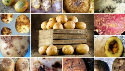 описание болезней картофельных клубней