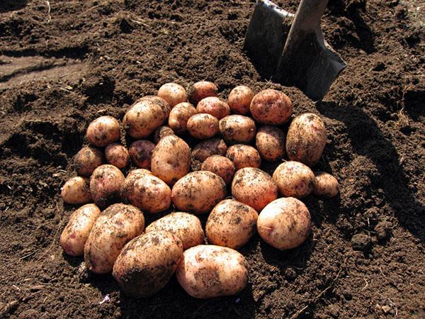 влияние минеральных удобрений на картофель